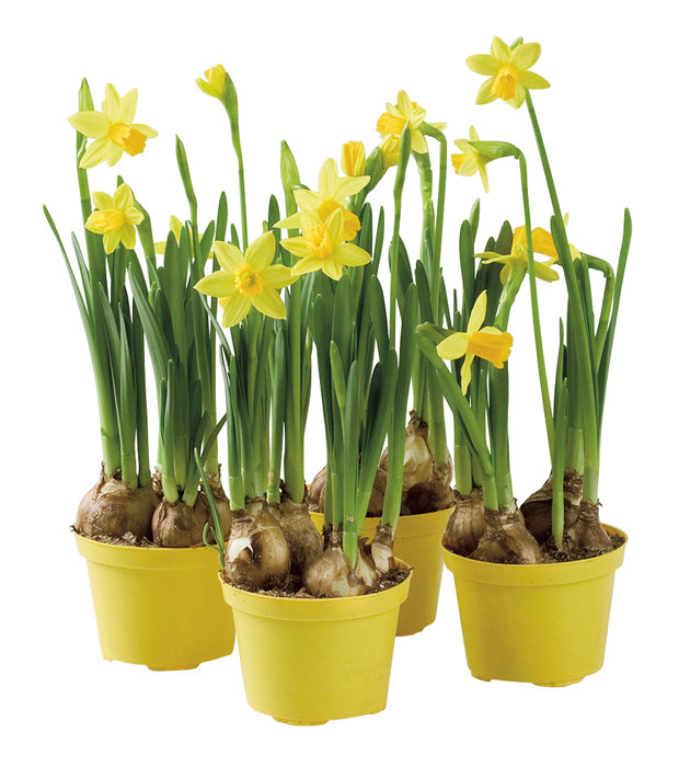 Påskeliljer 9 cm potte