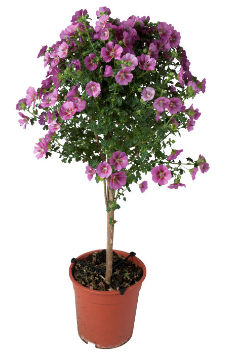Opstammede udplantningsplanter