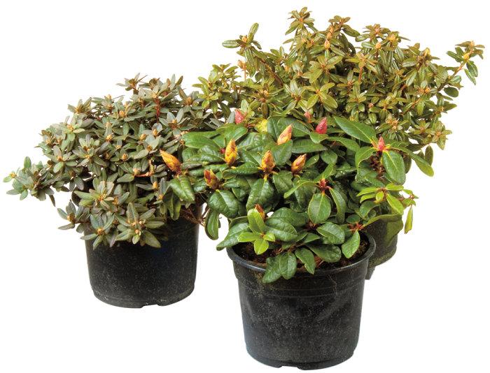 Dvärgrhododendron