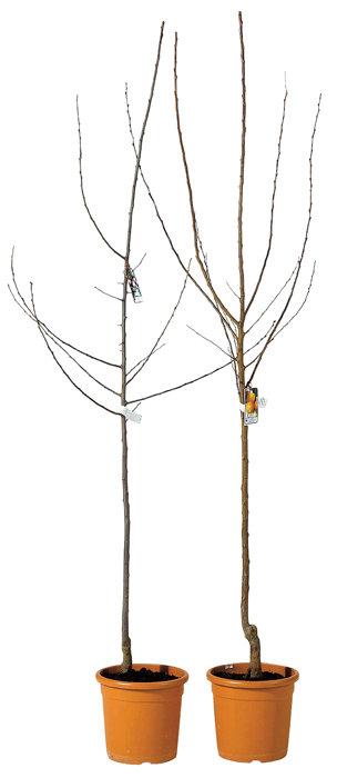 Frugttræer flere sorter