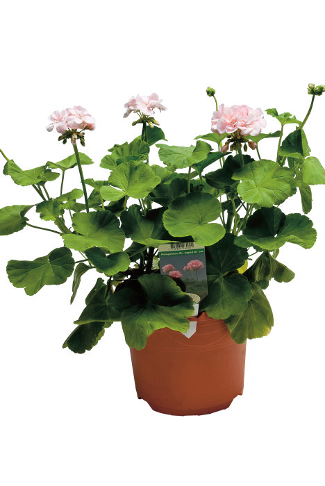 Pelargonium Dronning Ingrid
