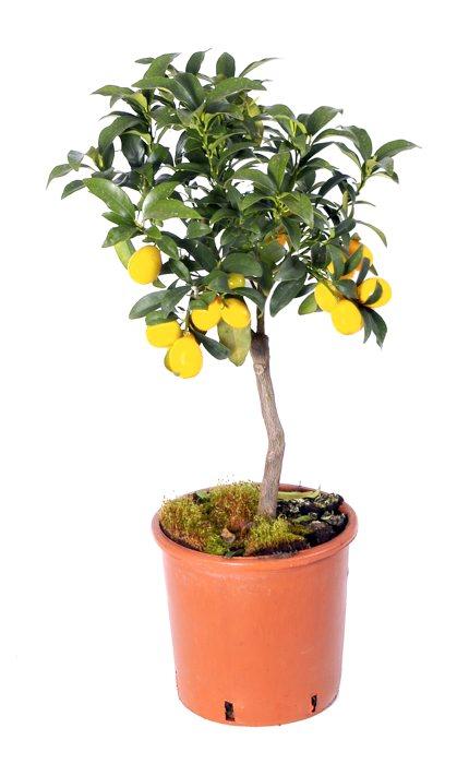 Citrus 70 cm