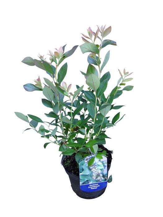 Blåbærbuske - flere sorter
