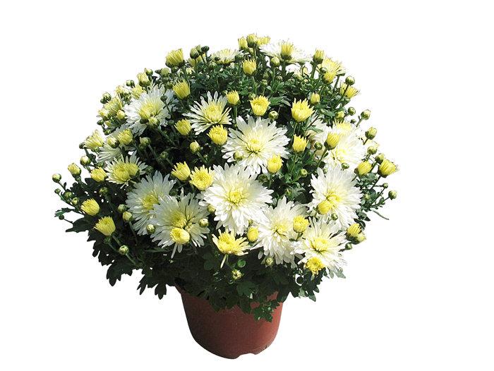 Frilandschrysanthemum