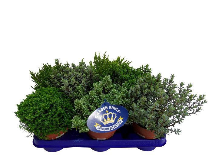 Hebe mix - 11 cm potte