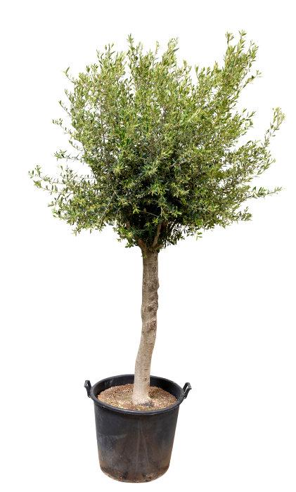 Oliventræ 8-10 år 180-200 cm