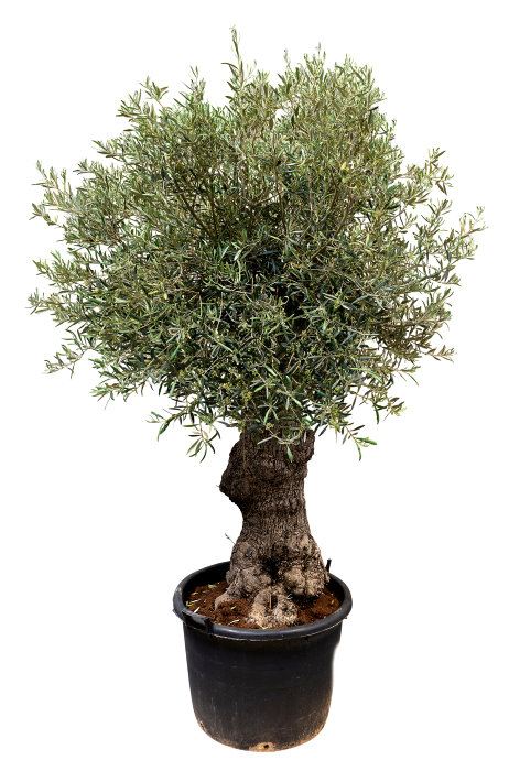 Oliventræ 30-35 år 200-220 cm