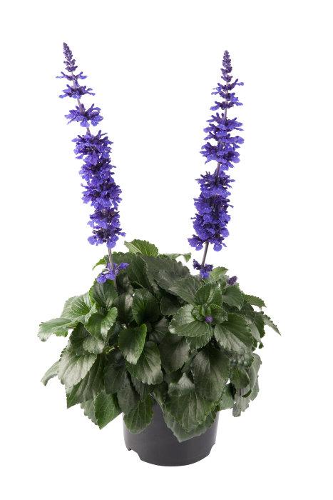Salvia Mystic Spire 17 cm