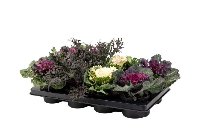 Prydnadskål Brassia