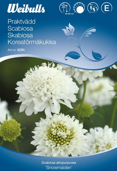 Scabiosa - Snowmaiden