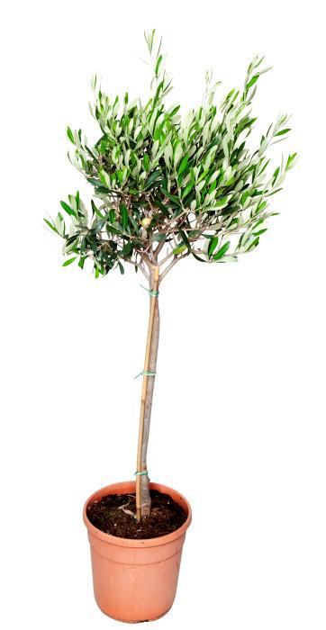 Oliventræ opstammet