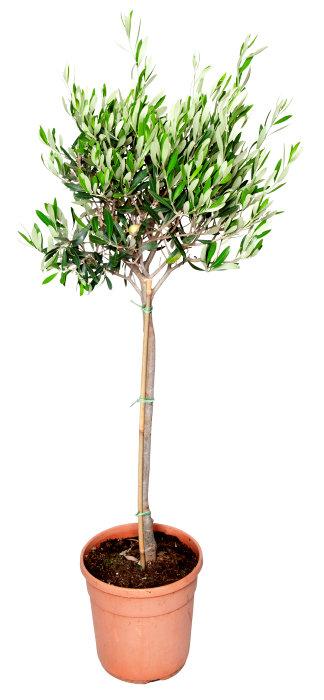 Oliventre 100-120 cm oppstammet