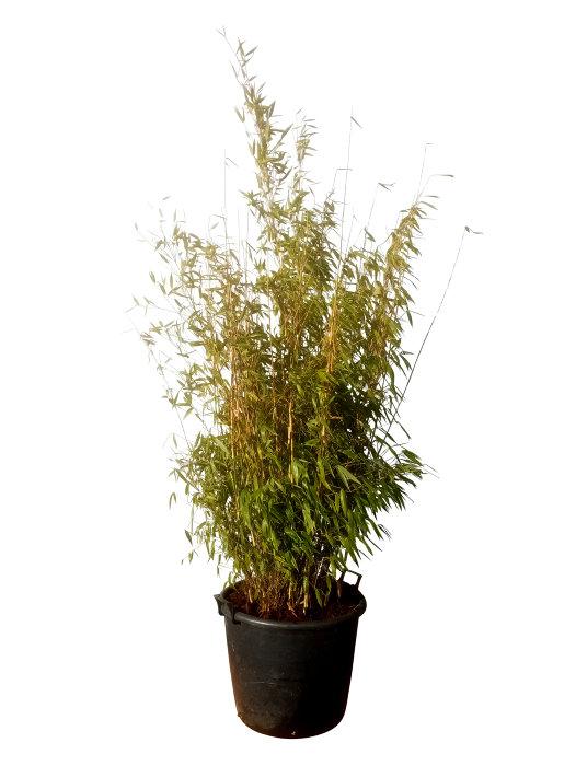 Bambus busk 90 liter potte